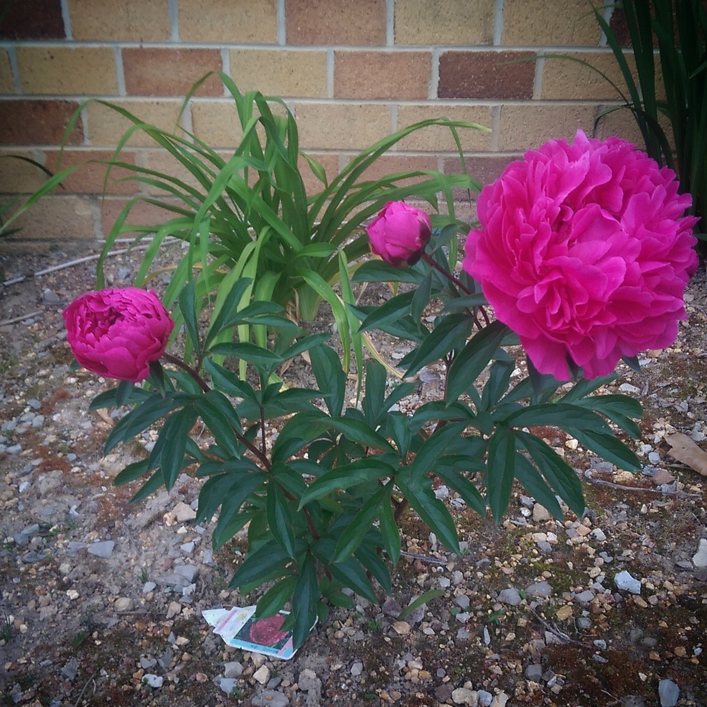 The peonies are beautiful this year.