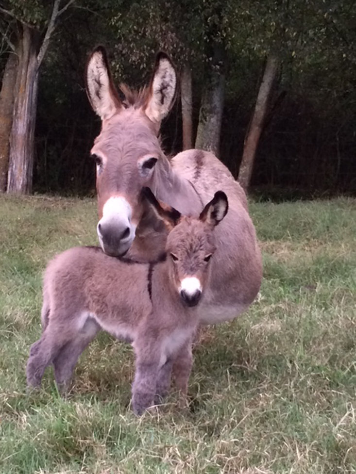 Daisy,  the baby donkey was also born last spring.