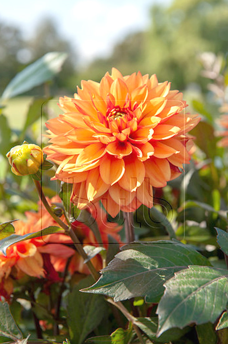 Beautiful dahlias are one of the summer bulbs that brighten the home garden.