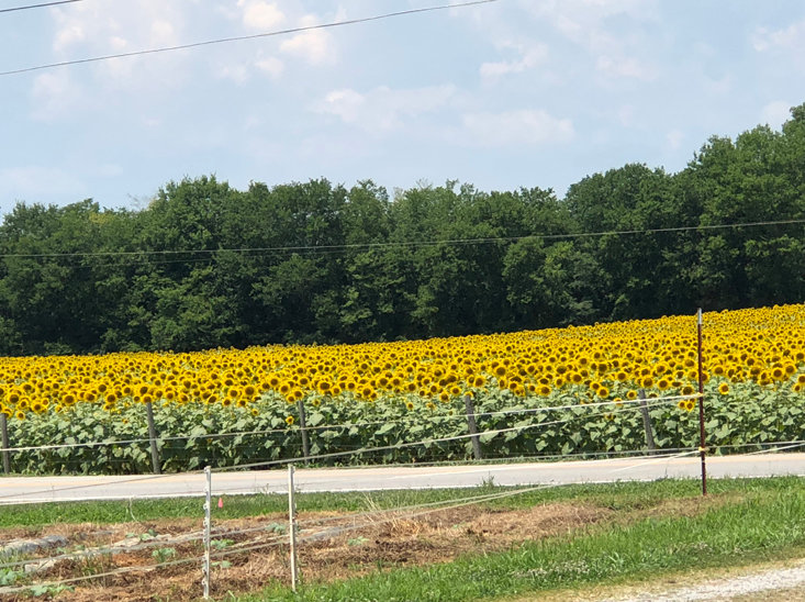 HANNAH CARLTON shared this photo of a field of sunflowers