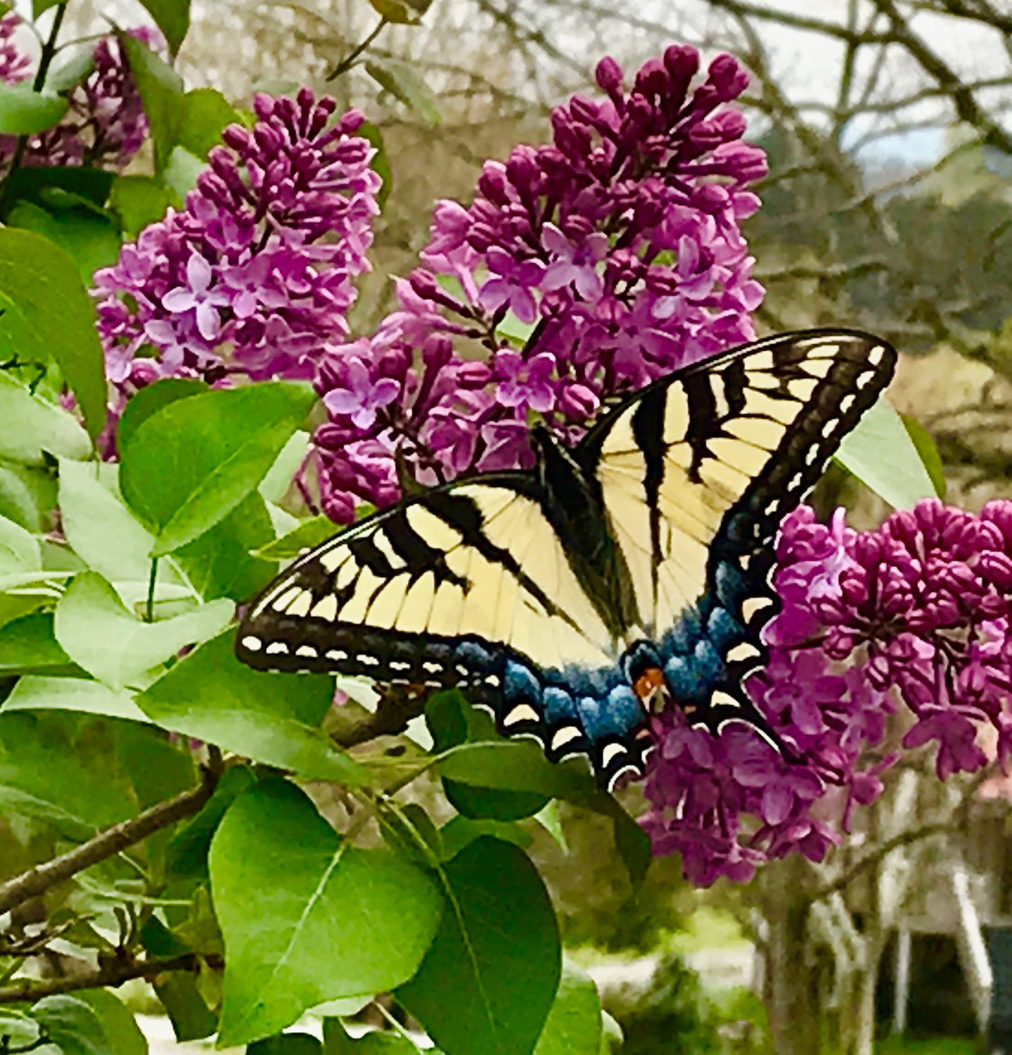 "CHARLIE MAE SCOGGINS shared this ""butterfly on my lilac — beautiful and fragrant."""