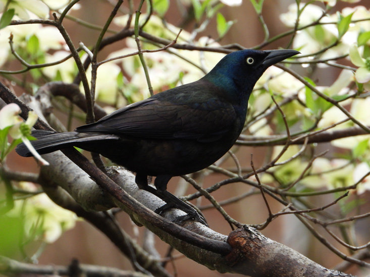 JENNIFER HARDISON shared this photo of a grackle sitting in a dogwood tree.