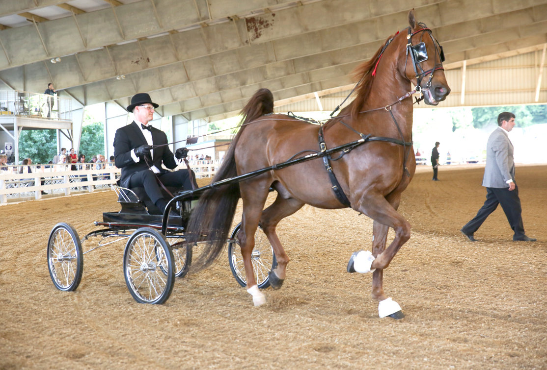 "JOHN BRAND rides in buggy behind ""Simon Templar the Saint"" in the ASB Fine Harness Amateur/Jr. Exhibitor category in Thursday evening's portion of the Cleveland Tri-State Charity Horse Show.  The horse show continues through Saturday.  More than 600 horses and rider are participating in the annual event. The show benefits the Reinbow Riders Thereapeutic Program and the Tri-State Exhibition Center. The show continues Friday at 7 p.m. and on Saturday at 9 a.m. and again at 7 p.m. Admission is free and open to the public."