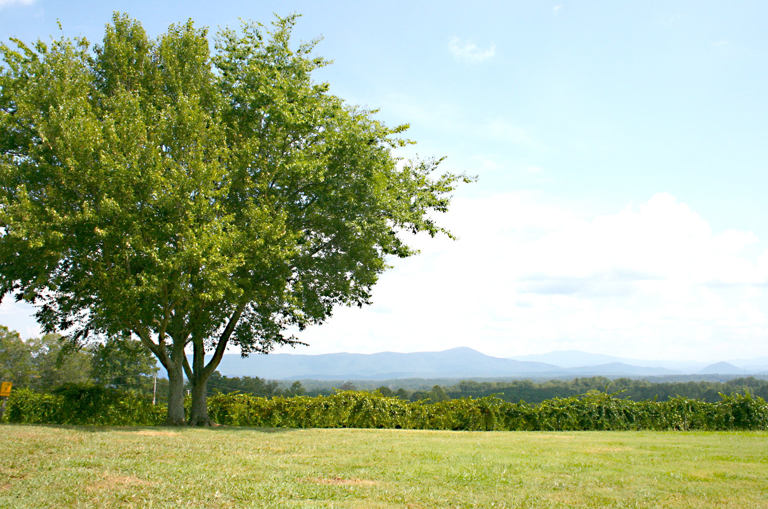 A BEAUTIFUL VIEW of the Smoky Mountains can be found near the entrance of Morris Vineyard in Charleston. MOUNTAINS TOWERING in the distance give Morris Vineyard's Mountain View label wine its name.