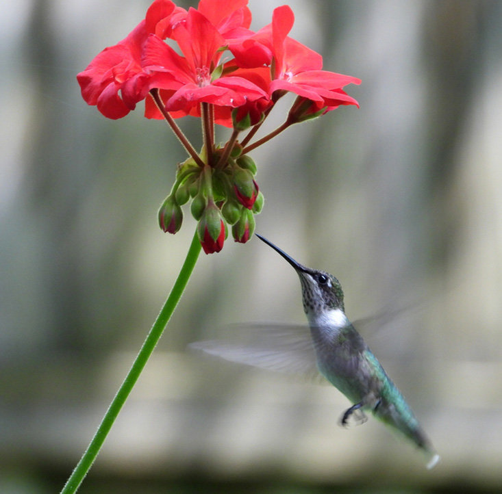 HOVERING, a female ruby throated hummingbird takes sips of nectar from a geranium in this photo by Jennifer Hardison.