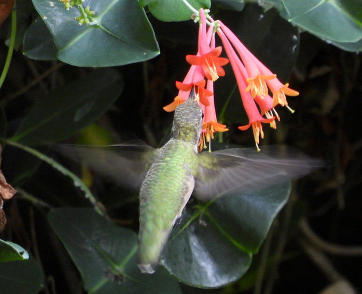 A FEMALE ruby-throated hummingbird drinks nectar from a honeysuckle vine in this photo by Jennifer Hardison.