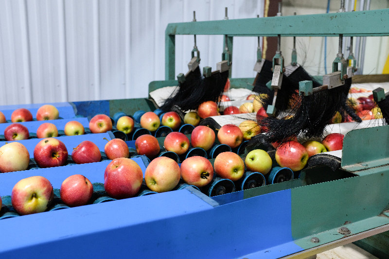 Apples are brushed on their way to being packed for shipment.