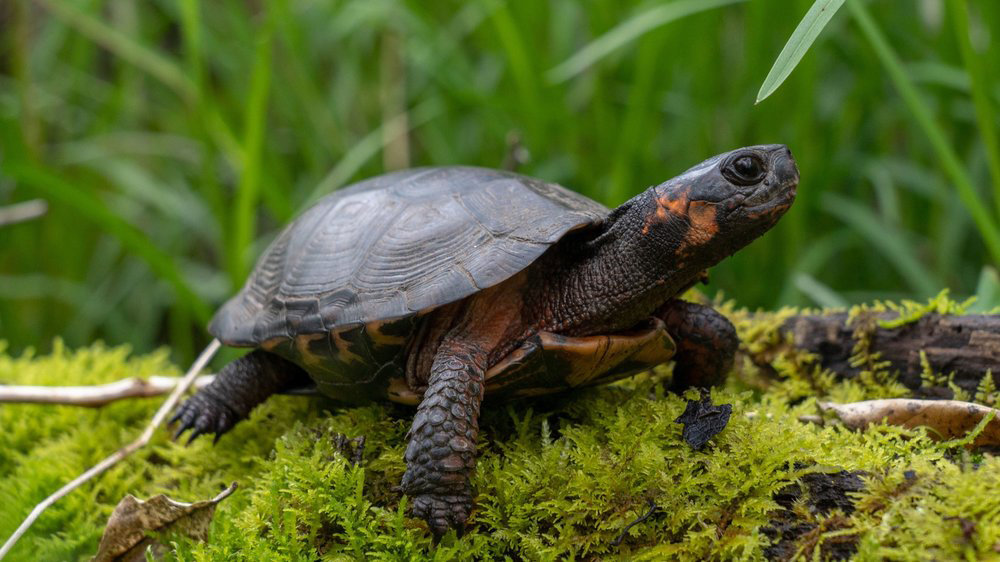 Considered threatened at the federal level, the bog turtle is protected under the United States' Endangered Species Act.