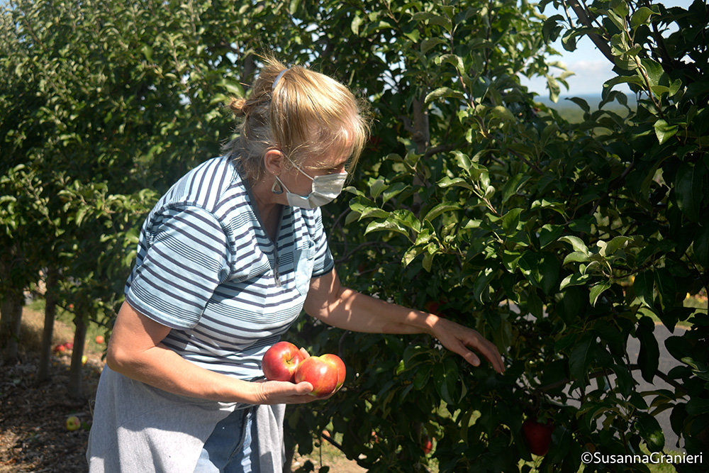 Elise Viola, UlsterCorps volunteer, works to clean the trees of remaining apples. Viola has been gleaning off and on for a few years, and whenever she is available and hears about an event, she makes sure to attend