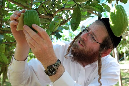 "Samuel Ekstein from New York controls the quality of a lime-green citron fruit in Santa Maria Del Cedro, southern Italy, in September 2016.   In the Jewish tradition, Cedar is considered the most beautiful fruit of the tree, but in Santa Maria del Cedro, a village in the province of Cosenza, it is above all an integral part of the culture and local economy, as rabbis arrive in the Calabrian country to select and collect in person the indispensable fruits for the ""Succoth"" feast (feast of Tabernacles), which is celebrated in October and is for Jews around the world, the most important religious event.   / AFP / ALBERTO PIZZOLI        (Photo credit should read ALBERTO PIZZOLI/AFP/Getty Images)"