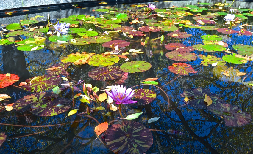 Lily Pond in the Conservatory Garden in Central Park.