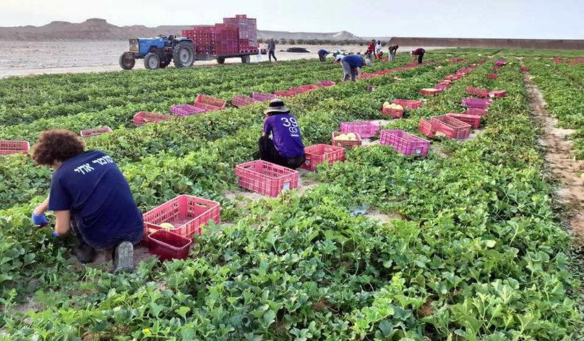 Volunteers helping farmers in southern Israel.