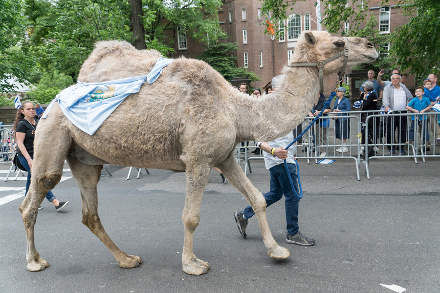 A camel on Fifth Avenue!