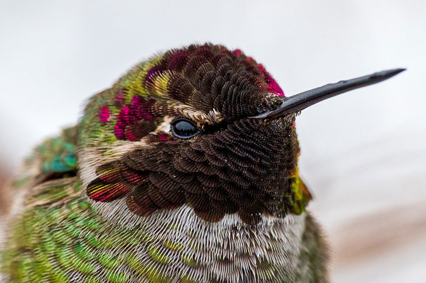 This juvenile male Anna's hummingbird has between 1,000 to 1,500 feathers, the least of any bird.