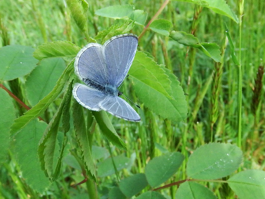 An echo azure moth stands out in a field of green.