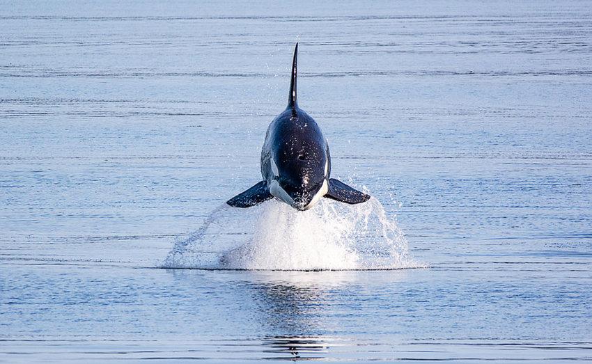 A photographer's dream: orca airborne over Henderson Bay.