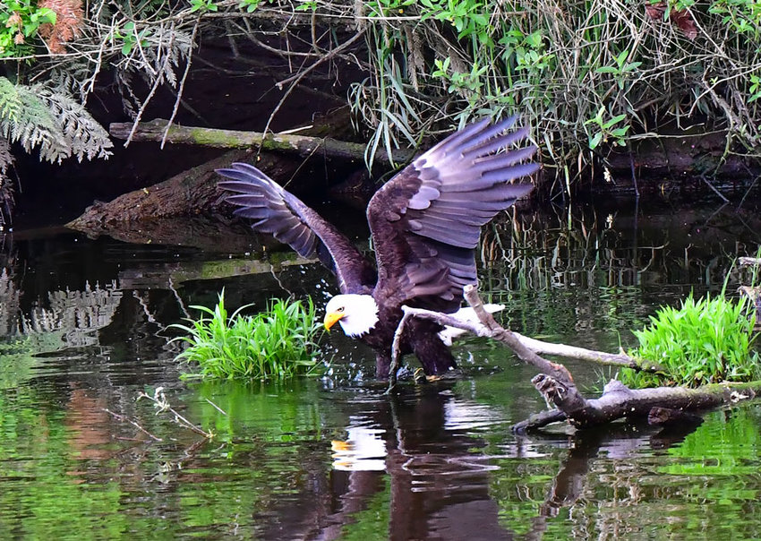 An eagle spies fresh supper in Minter Creek.