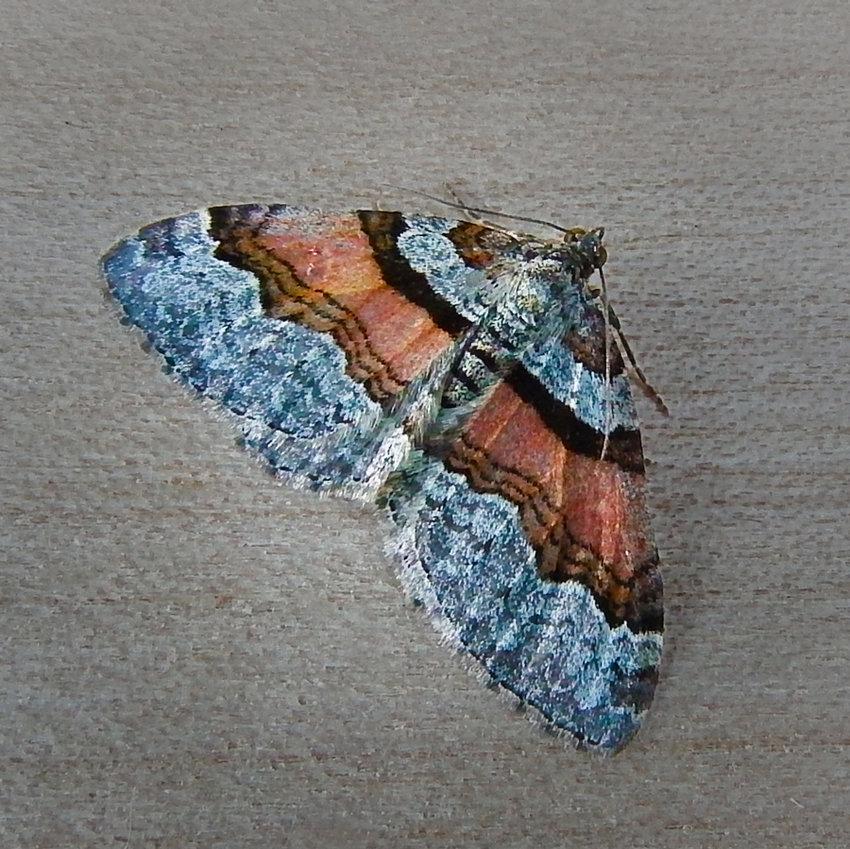 Labrador Carpet Moth (Xanthorhoe labradorensis)