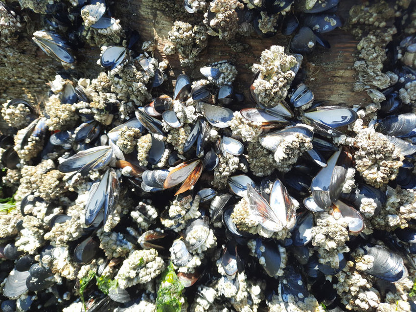 Mussels on a raft in Carr Inlet couldn't survive the heat.
