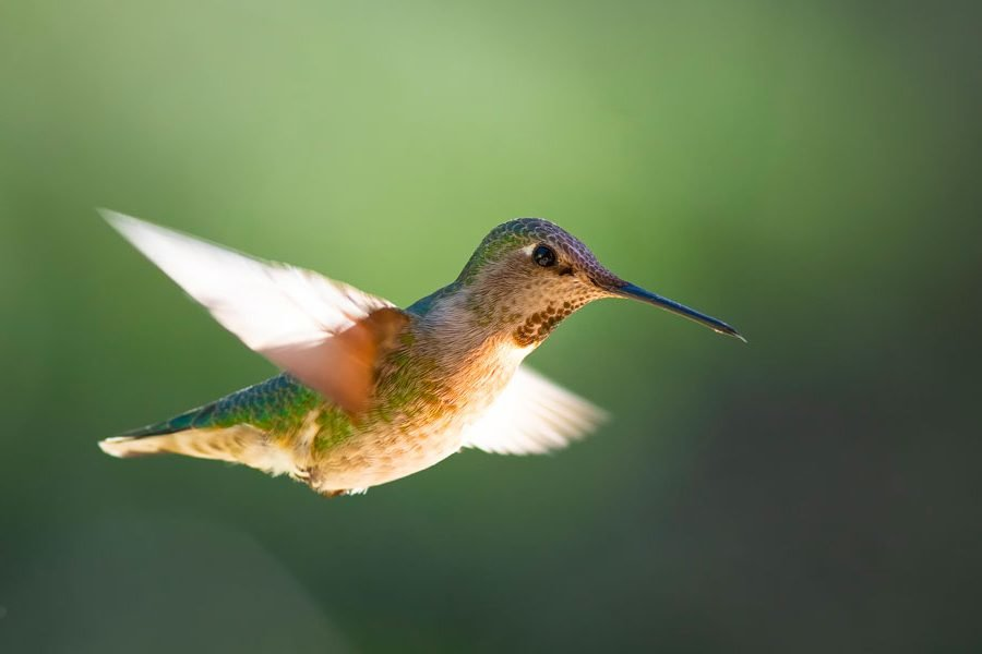 A female hummingbird in flight. Photo: Chris Konieczny, KP News