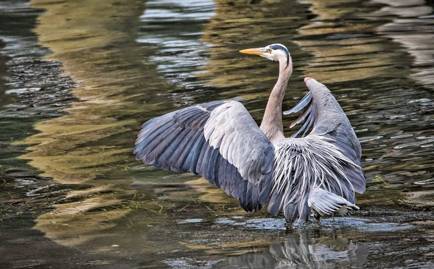 RIGHT A great blue heron strikes a pose. Photo: Ed Johnson, KP News