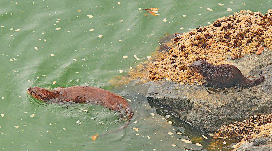 A Filucy Bay river otter gives its new kit a shoreline swimming lesson. Photo: Richard Hildahl