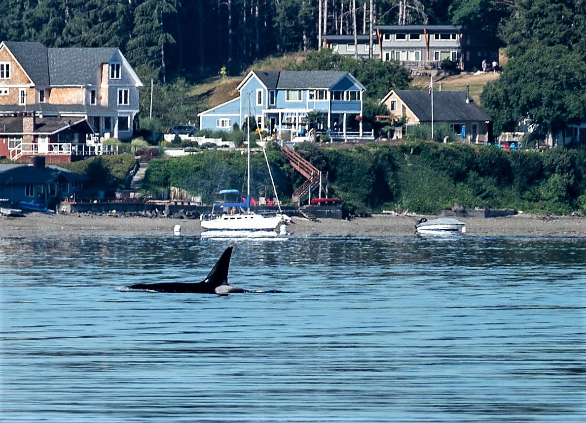 An Orca from J pod hunts for chinook salmon in Case Inlet Aug. 9.