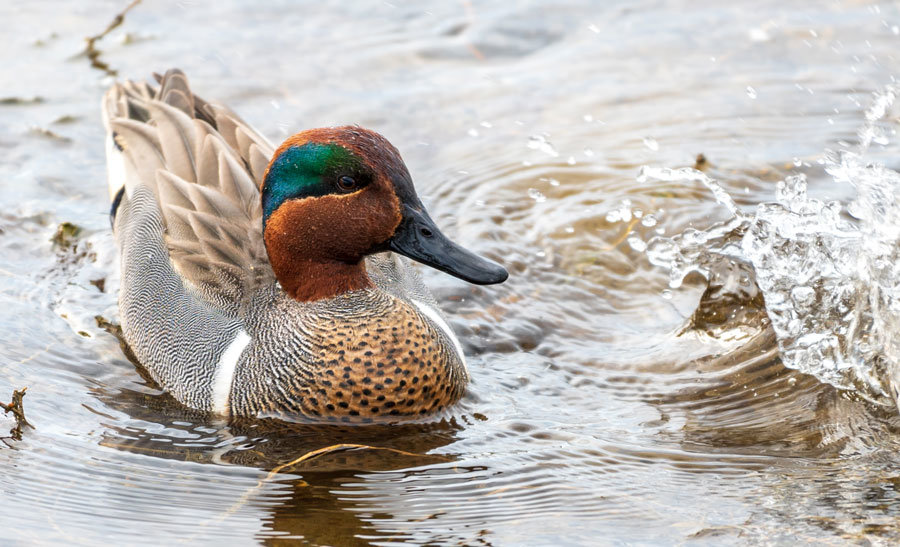 This resident male green-winged teal will soon fly east to breed in the prairies, and return in September.