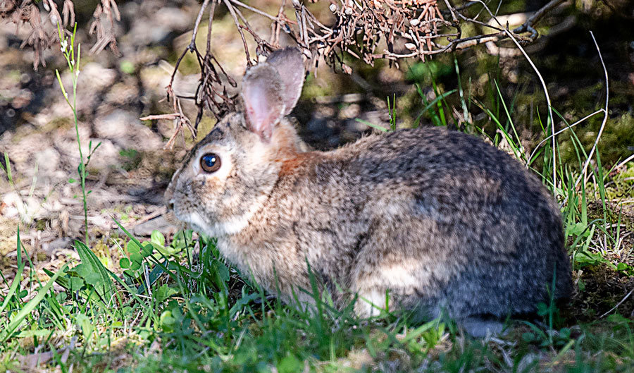 A cottontail rabbit prefers to blend in.