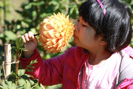 Four-year-old Jade Zhang savored the aroma of a dahlia while visiting East meadow Farms during the fall festival last Saturday.