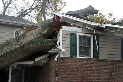 This huge tree could not withstand the violent wind gusts of Hurricane Sandy.