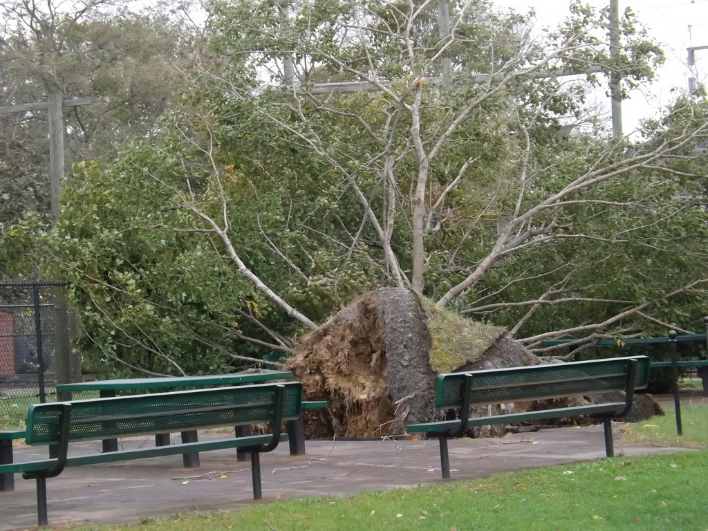 At least Two trees were uprooted on the grounds of Lynbrook High School.