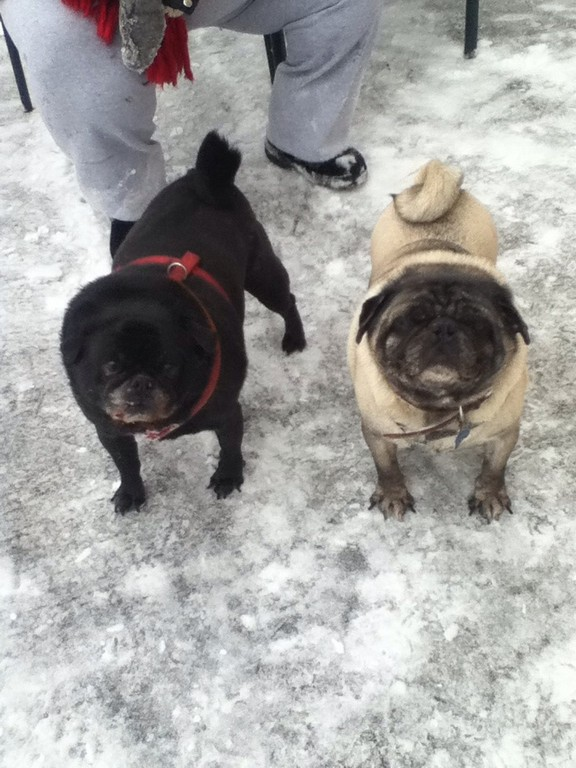 The Gallardo family's pugs, Bob and Brutus, went out in the snow.