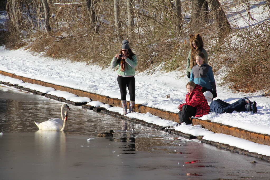 Sledding isn't the only thing to do at the park. The swans and ducks were very happy to be fed by the families who came by.