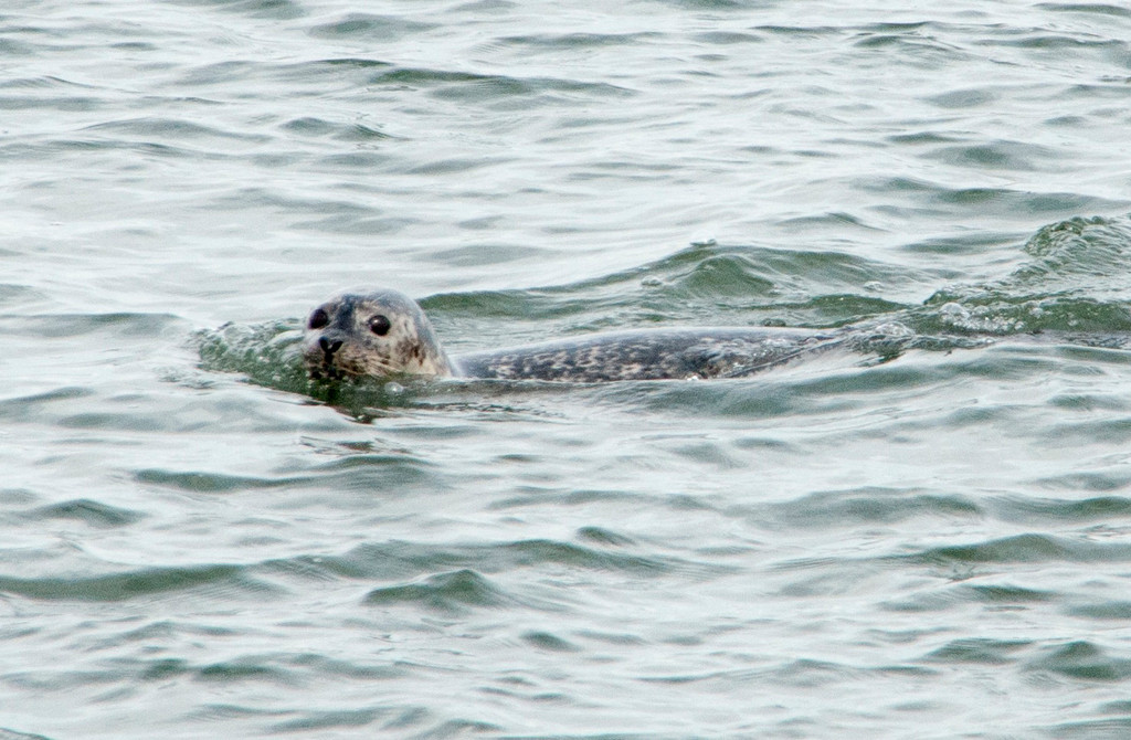 Some 40 harbor seals were spotted during the Herald tour, including this one