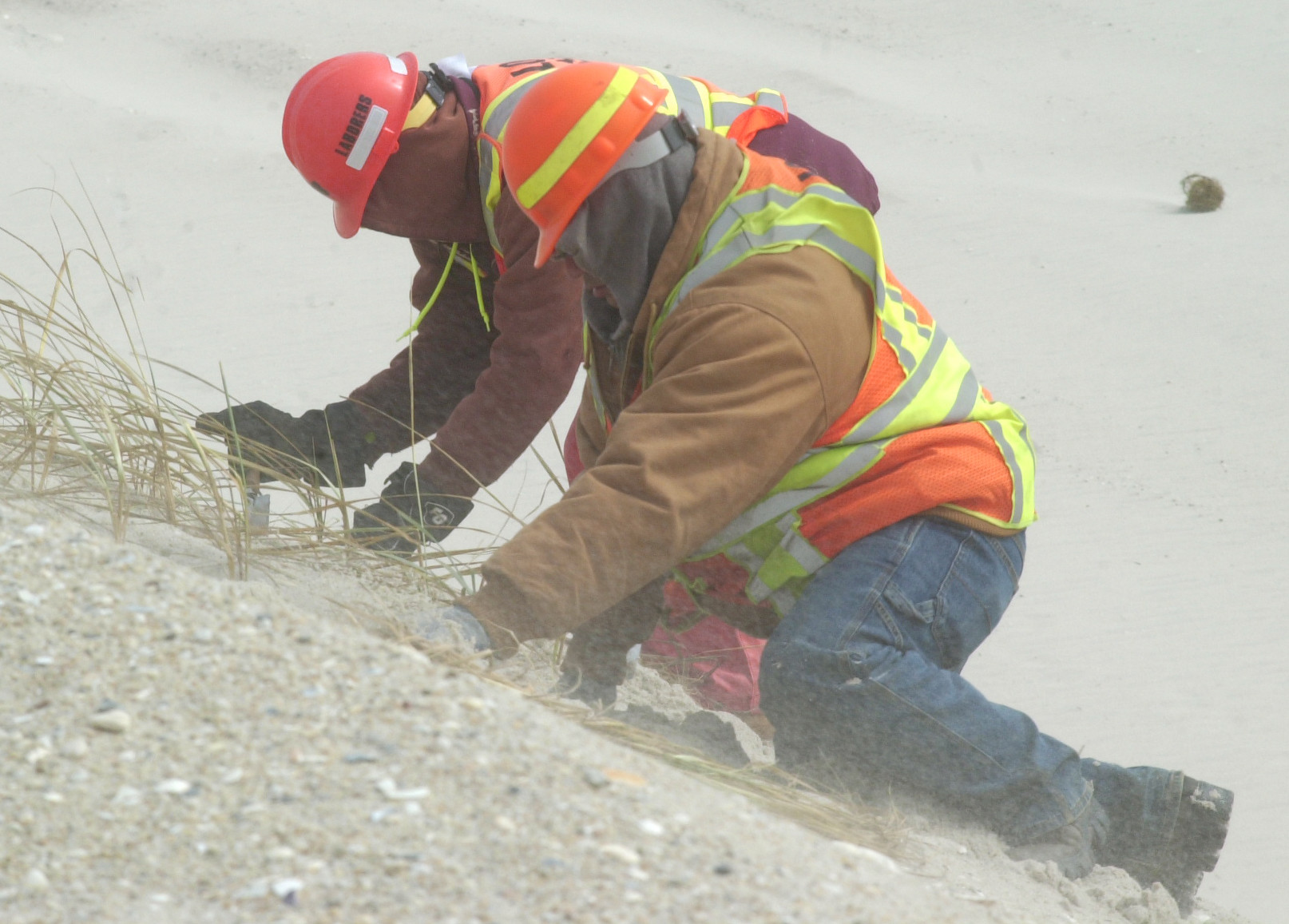 Buffeted by wind-blown sand, workers planted grass last Friday on the massive dunes the state is building along the Ocean Parkway to protect it from the Atlantic Ocean's onslaught in the event of another storm like Hurricane Sandy.