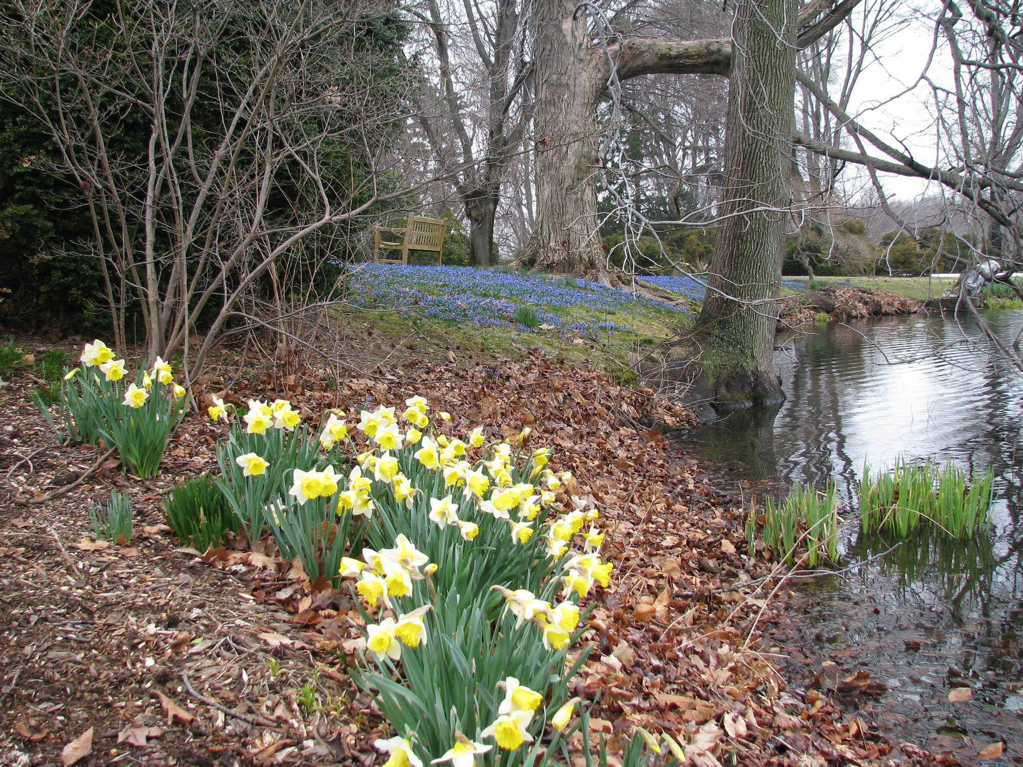 Spring splendor: Daffodils make their appearance at Old Westbury Gardens, a welcoming sight for all.