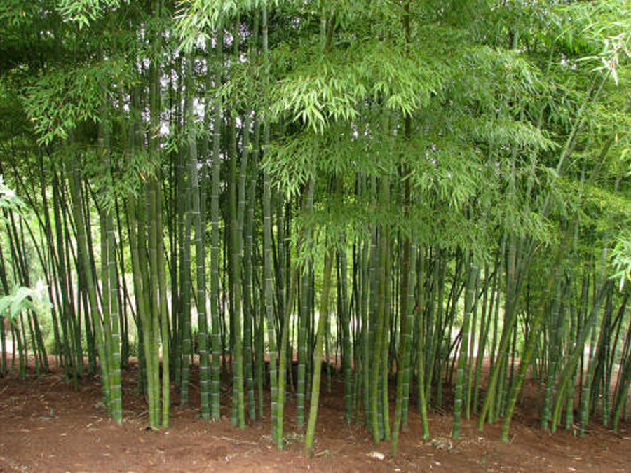 Growing bamboo outdoors in Malverne will be outlawed. Indoor growing is allowed.