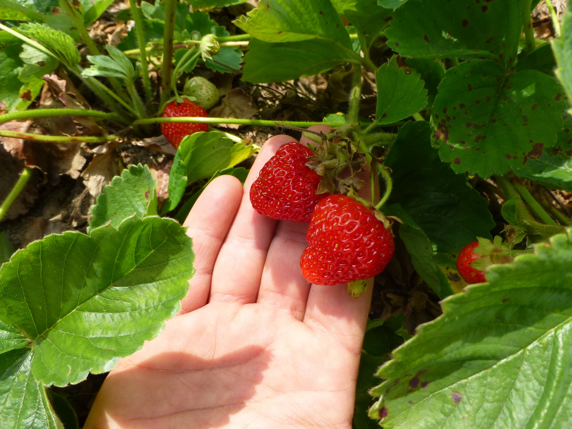 The organic strawberries have been popular this season.