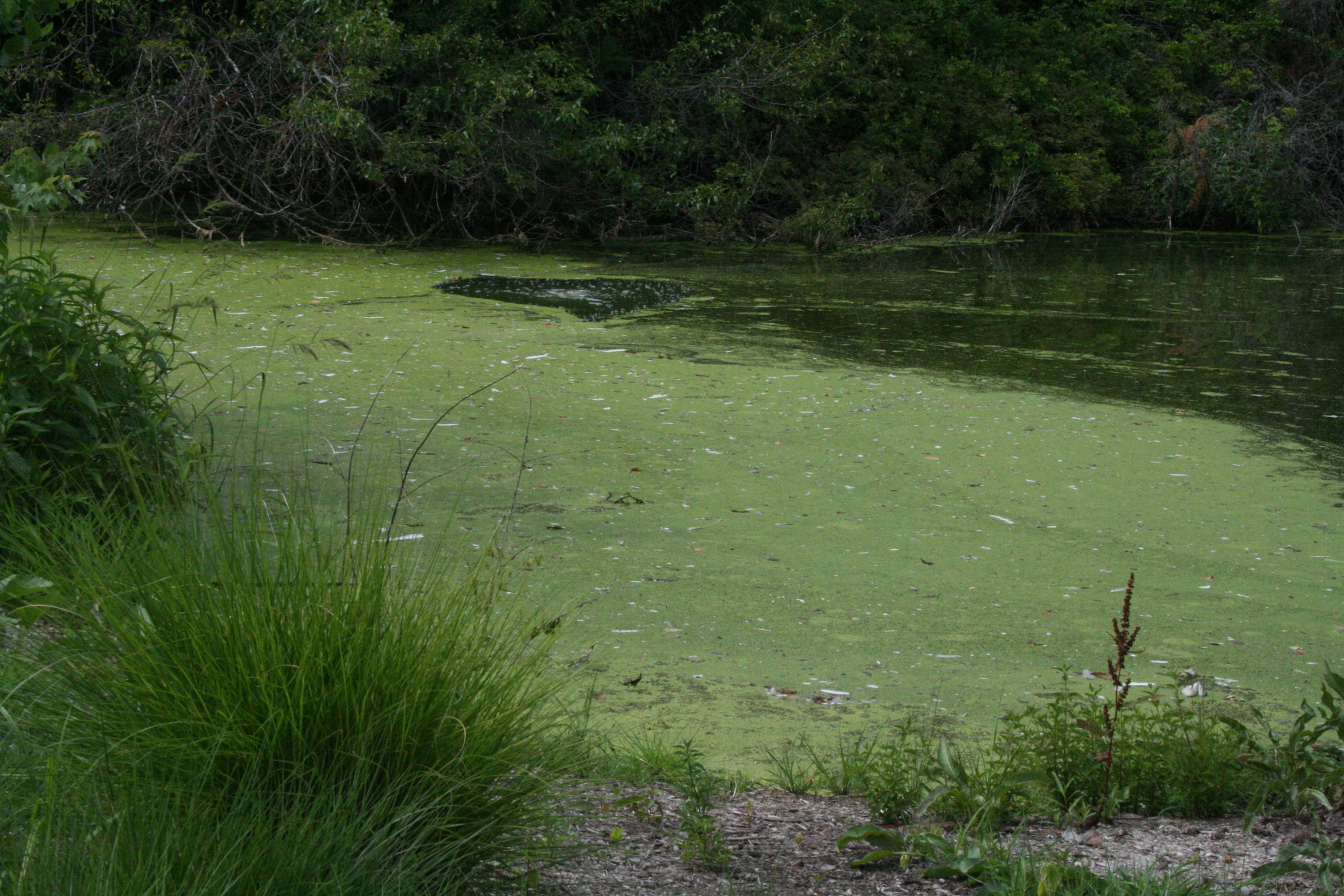 The villages of Hewlett Harbor and Hewlett Bay Park seek to end the problem of floating algae and muck in Willow Pond by treating them with enzymes.