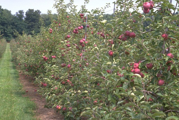 Take your pick of this year's tasty crop at one of the area's popular u-pick apple orchards.