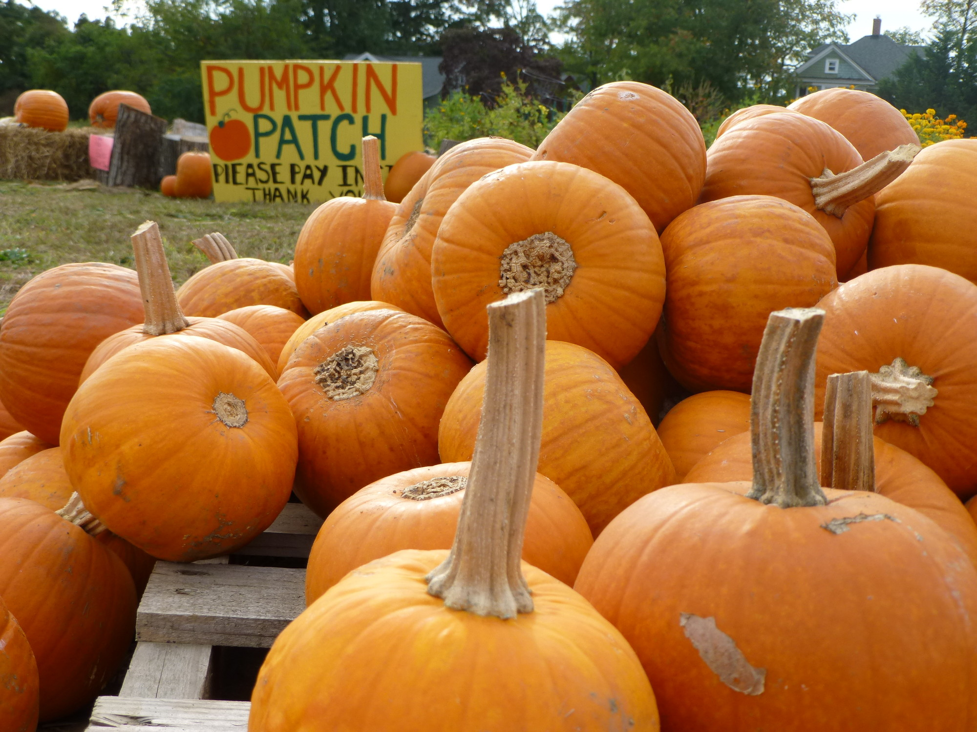 Pumpkin picking, this season
