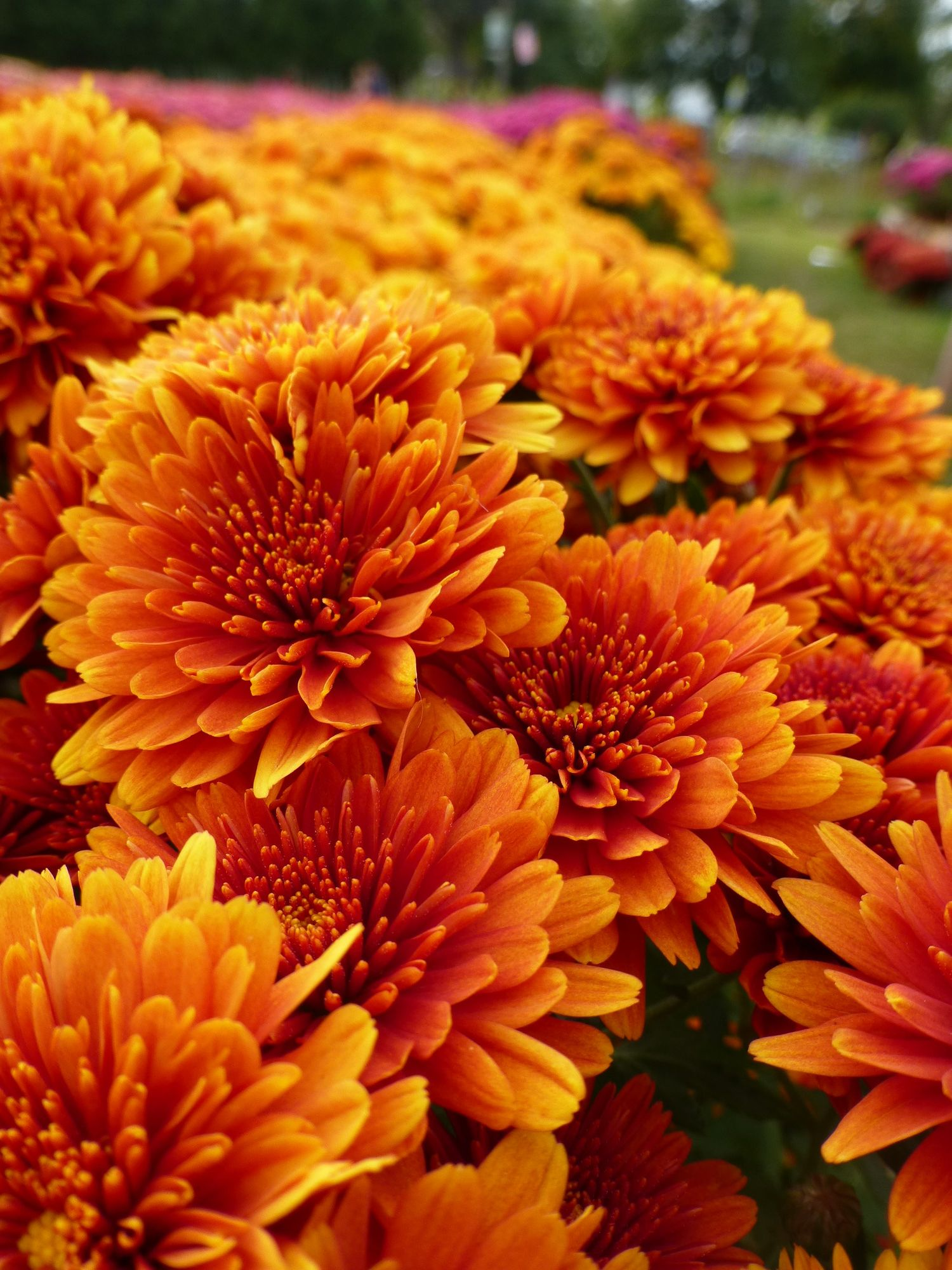 Mums are in full bloom this season at Crossroads.