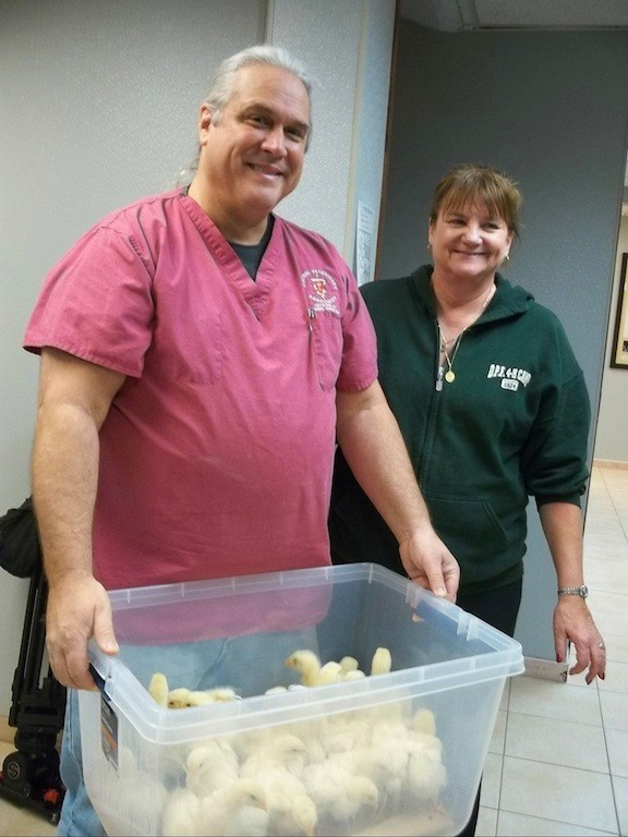 On Jan. 10, Dr. John Charos turned the chicks over to Mary Devlin of the 4-H Camp in Riverhead.