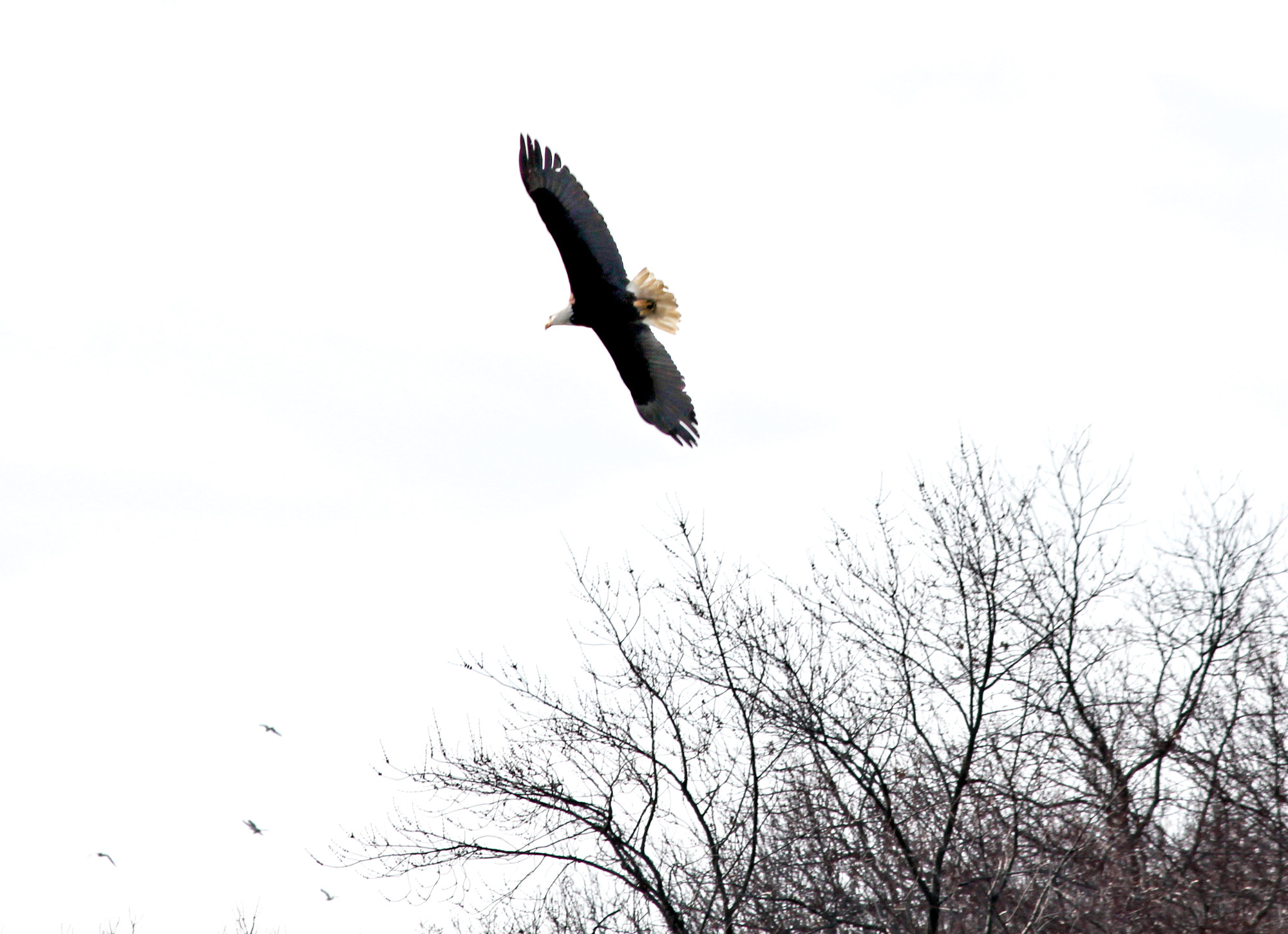 A majestic bald eagle soared above Hempstead Lake Park this week. 