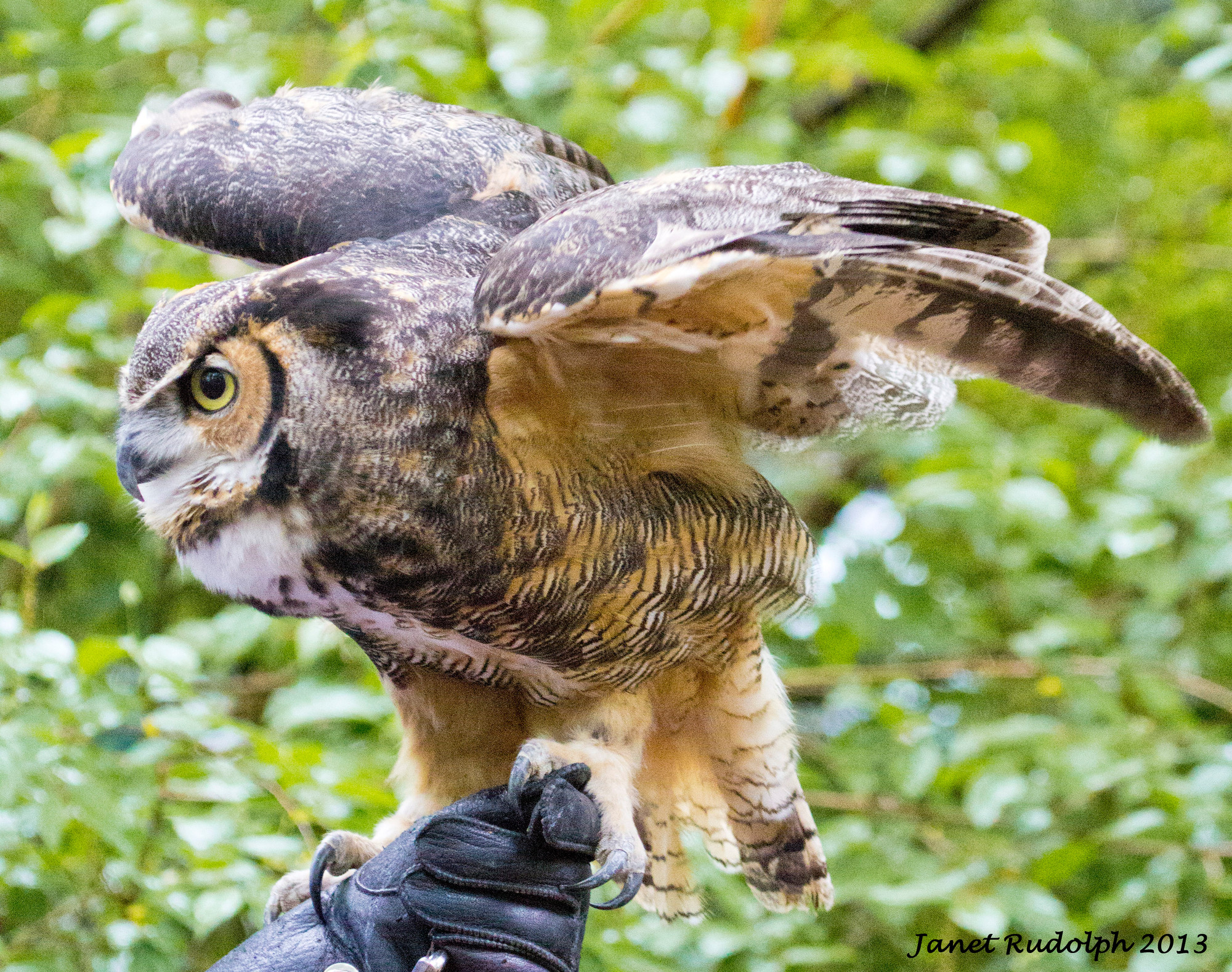 A Great Horned Owl engages visitors at the sanctuary.