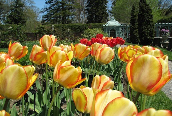 The Walled Garden at Old Westbury Gardens, brimming with tulips, is always a popular Mother's Day destination.