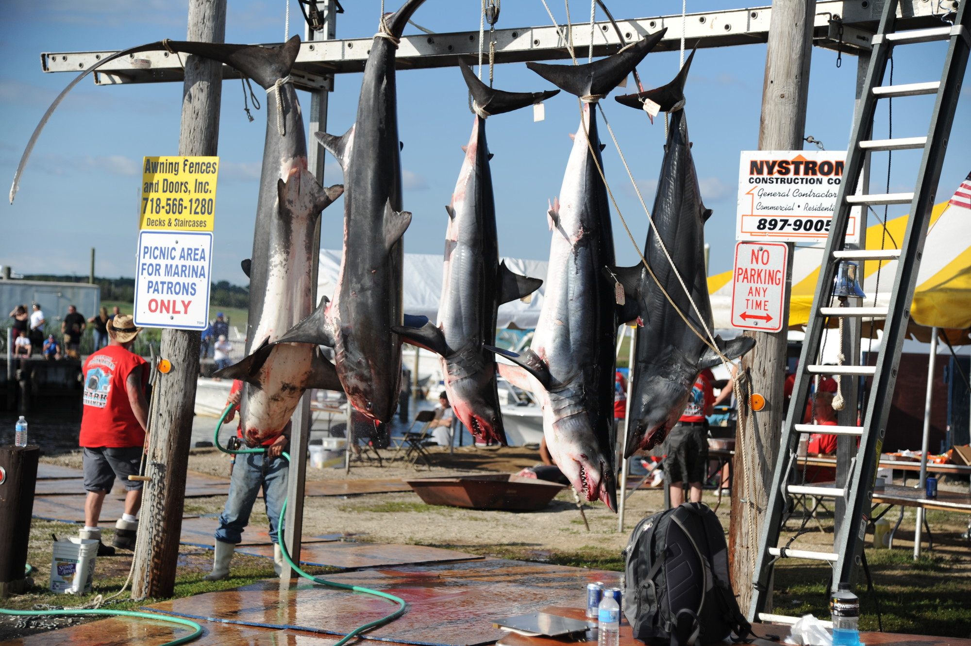 Hanging shark carcasses at the 42nd annual Freeport Hudson anglers shark tournament.
