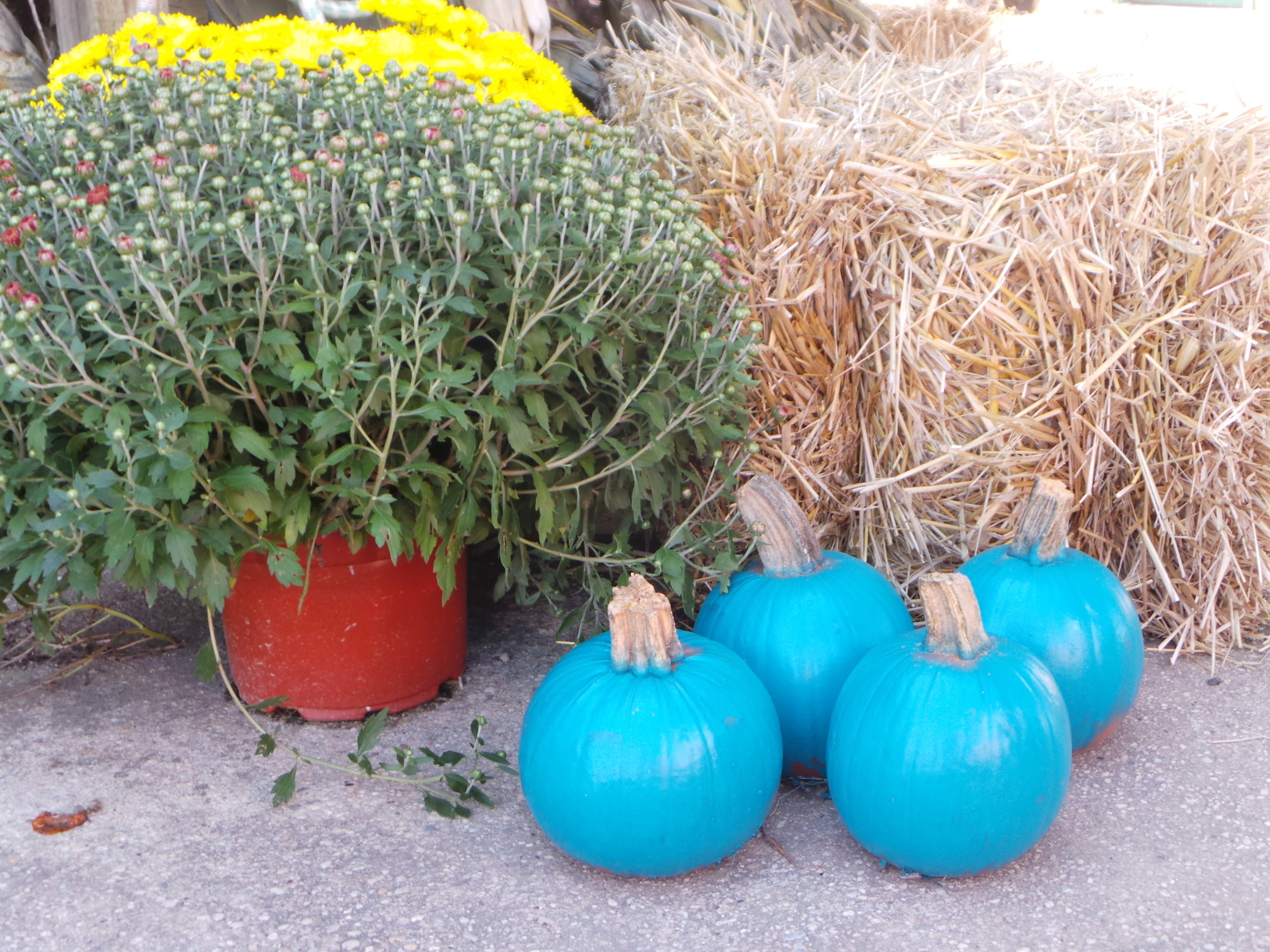 Pumpkins have been sprayed painted teal and are available locally at Crossroads Farms for $2.99.