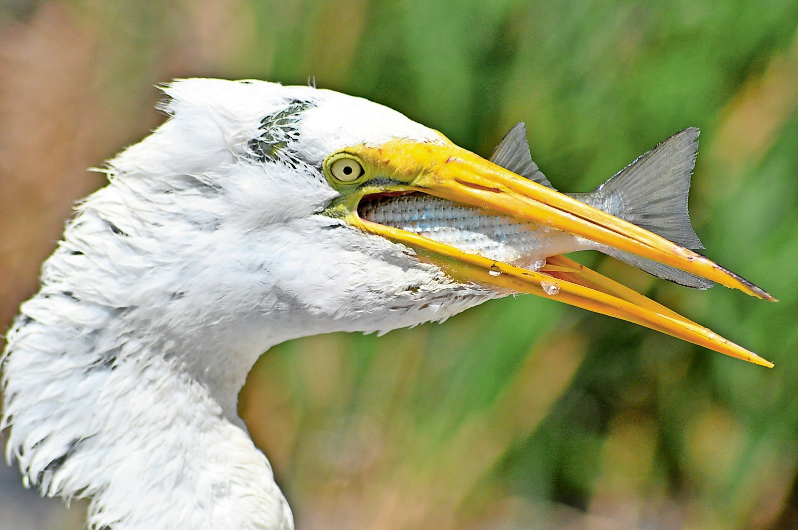 An egret, pictured in 2010, digested a whole fish in one gulp.
